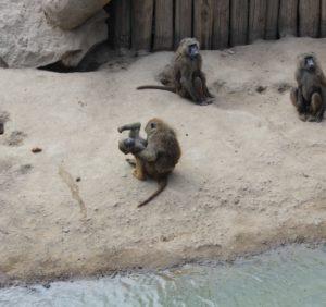 Freche Sprüche - Affen im Zoo beim Kämpfen
