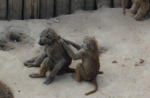 Freundschaftssprüche - Affen im Zoo massieren sich gegenseitig
