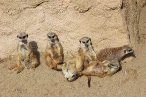Lustige Sprüche - Erdmännchen im Zoo