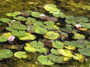 Sprichwörter - Seerosen auf dem See