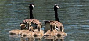 Familiensprüche - Entenfamilie auf dem See
