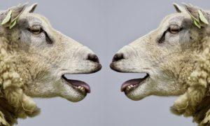 Freche Sprüche - Schafe lachen